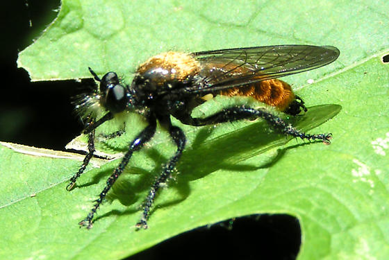 Robber Fly - Laphria sericea - male
