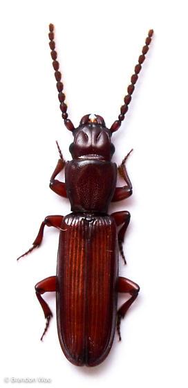 Catogenus rufus