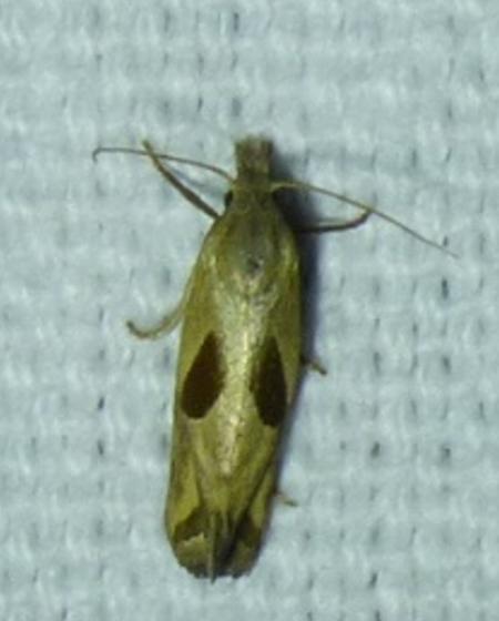 Eugnosta bimaculana - Two-spotted Eugnosta - Eugnosta bimaculana