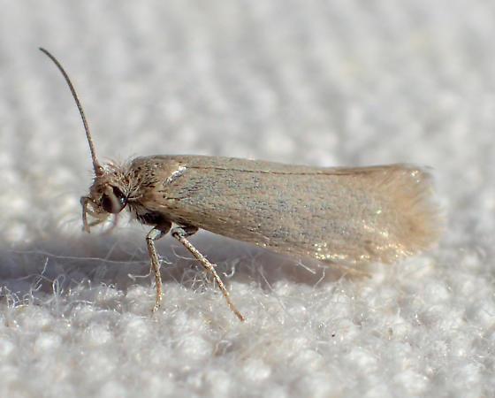Plain cream-colored moth