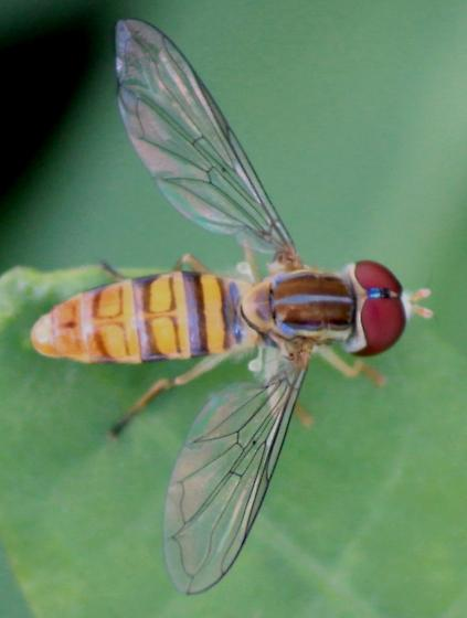 Blue-banded Flower Fly - Toxomerus politus - male