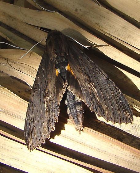 Sphinx moth unknown.. - Erinnyis alope
