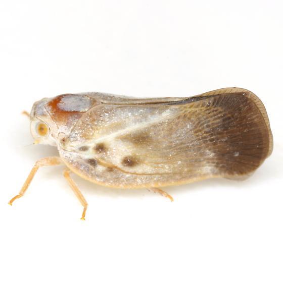 Metcalfa pruinosa (Say) - Metcalfa pruinosa