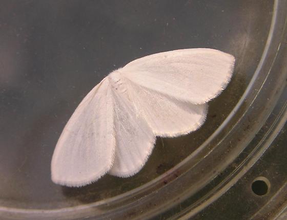 White spring moth? 1:29pm - Cabera variolaria