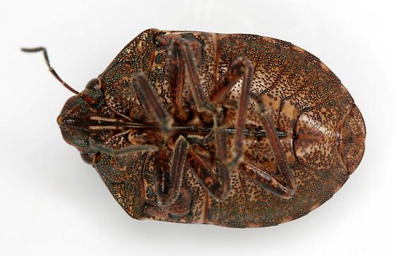 Shieldbacked Pine Seed Bug - Tetyra bipunctata