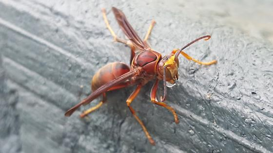 Wasp - Polistes rubiginosus - male