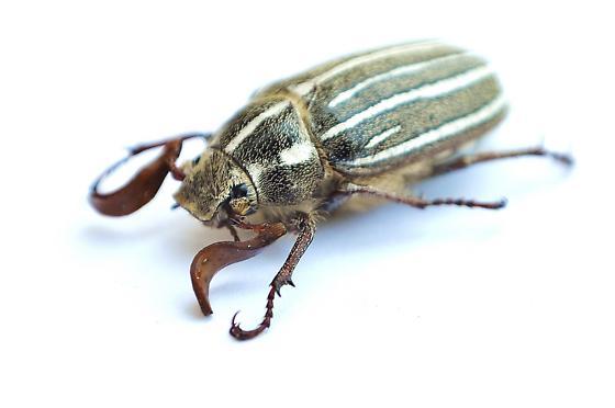 Polyphylla decemlineata? - Polyphylla decemlineata - male