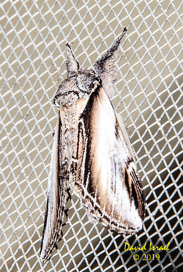 Sphinx Moth - Pheosia rimosa