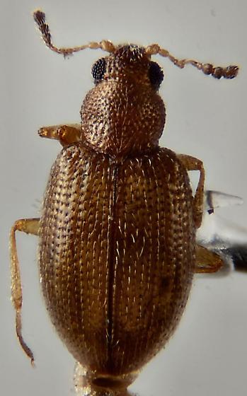 Latridiidae ? - Cortinicara gibbosa