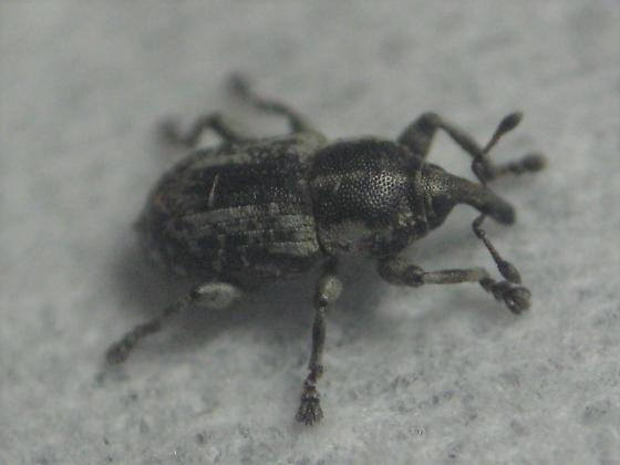 soft-focus weevil - Notiodes punctatus