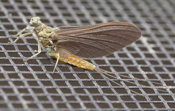 mayfly - Ephemerella aurivillii