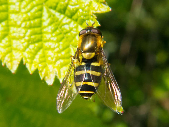 Hoverfly - Syrphus opinator