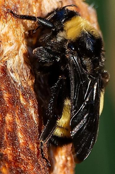 What type of bee? - Bombus pensylvanicus