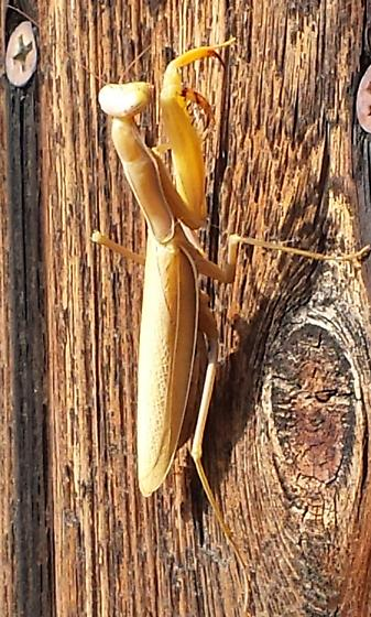 Mantis - Mantis religiosa - female