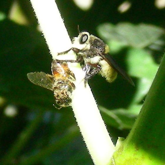 Bee Killer - Mallophora fautrix