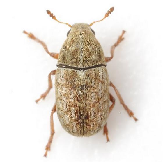 Trigonorhinus? - Trigonorhinus limbatus