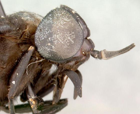 black horse fly 2 - Whitneyomyia beatifica