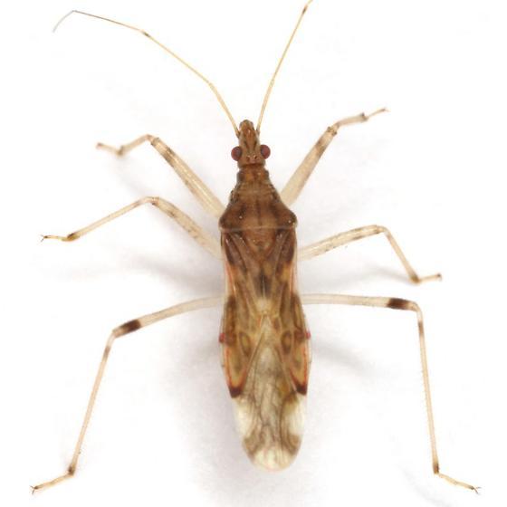 Lasiomerus annulatus (Reuter) - Lasiomerus annulatus