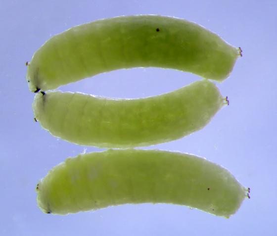 Milkweed Leaf-Miner Fly larvae - Liriomyza asclepiadis