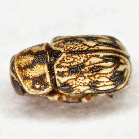 Pachybrachis - Pachybrachis alticola