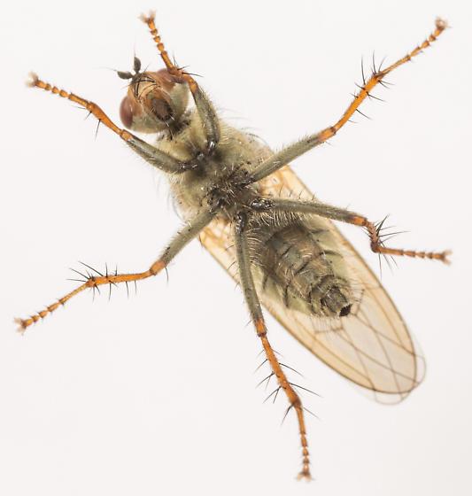 Fly - Scathophaga stercoraria - female