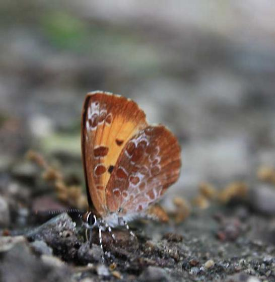 Little orange butterfly - Feniseca tarquinius
