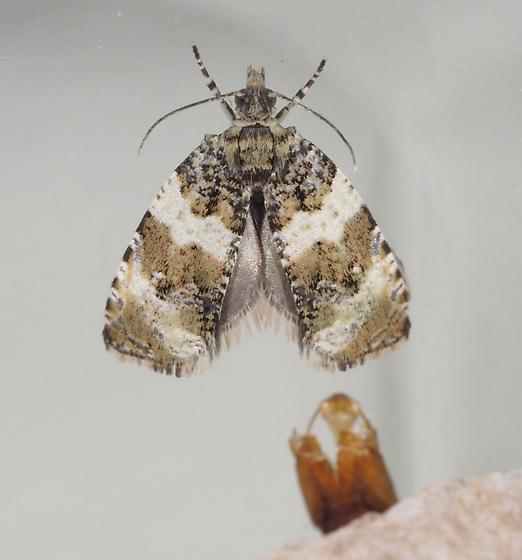 Tortricid Moth - Orthotaenia undulana