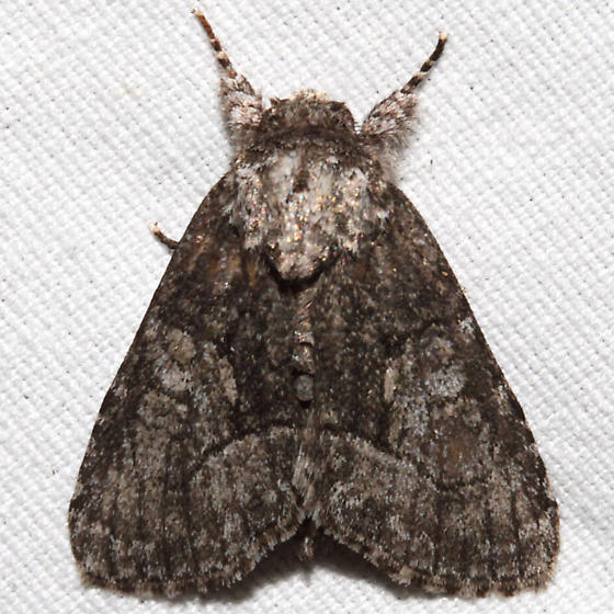 Raphia frater - male
