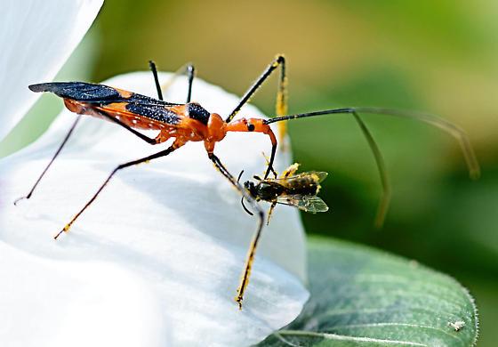 Assassin bug - Zelus longipes