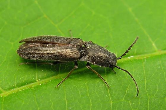 Click beetle - Corymbitodes pygmaeus