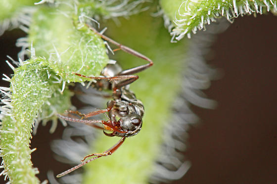 Formicidae - Formica argentea - female