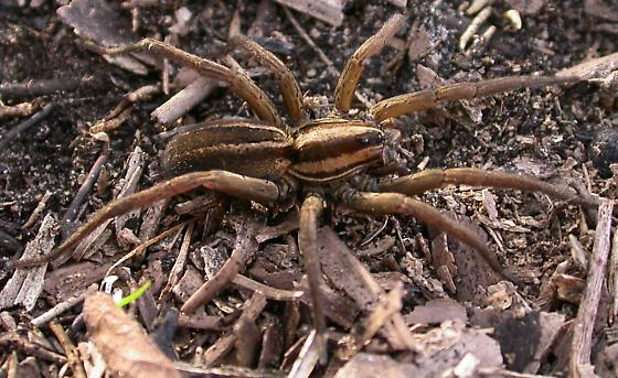 Rabidosa carrana - female