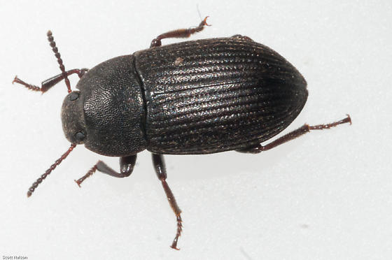 Darkling beetle size - photo#8