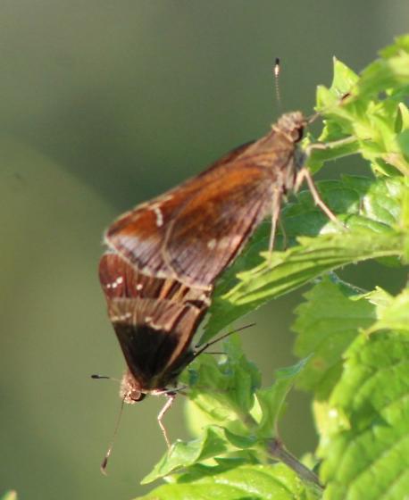 Skippers Mating - Lerema accius - male - female