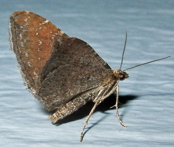 Unidentified Moth - 2 - Orthonama obstipata - female