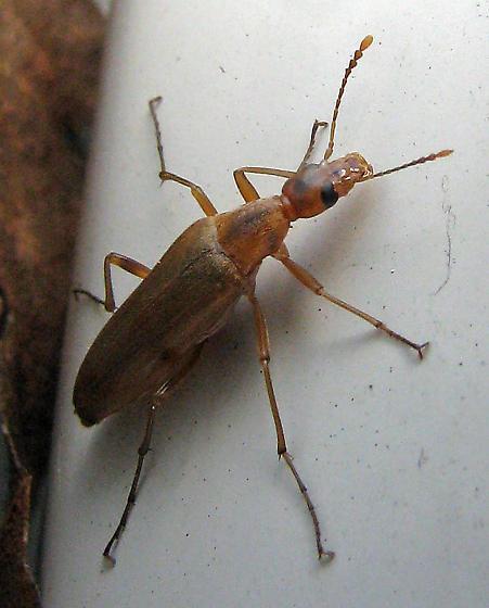 False longhorn beetle - Cephaloon ungulare