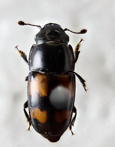 G. quadrisignatus? - Glischrochilus fasciatus