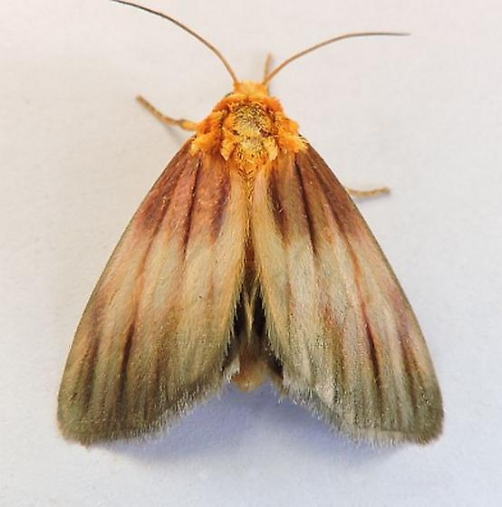 Arizona Moth - Eulithosia plesioglauca