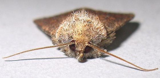 Northern Scurfy Quaker Moth - Homorthodes furfurata