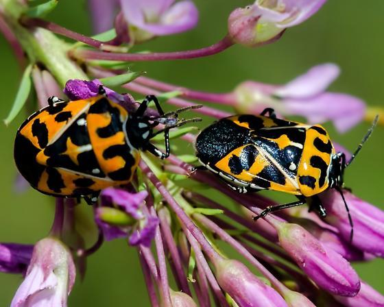 Unknown 'Beetle?' - Murgantia histrionica