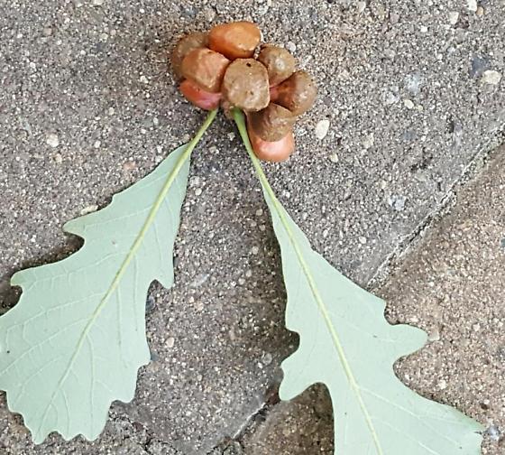 galls on bur oak - Andricus quercusstrobilanus