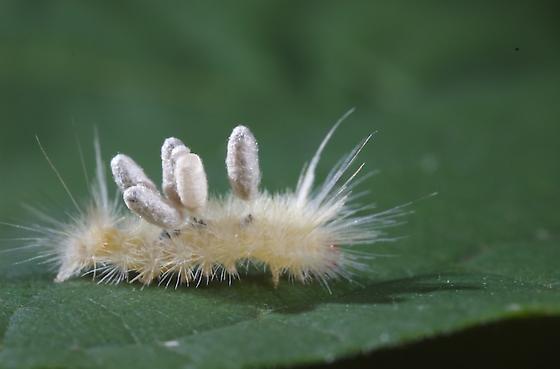 Tussock moth? - Halysidota harrisii
