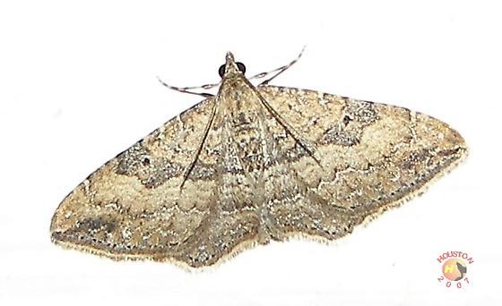The Gem Moth - Orthonama obstipata