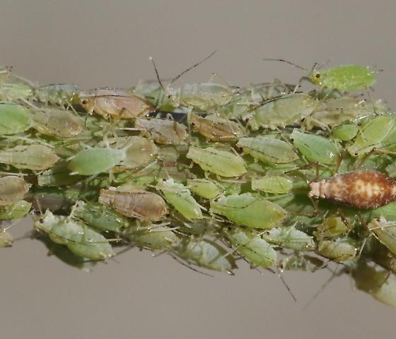 Hyperomyzus lactucae