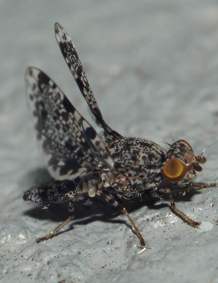 Unknown fly - Callopistromyia annulipes