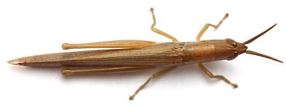 Leptysma marginicollis - female