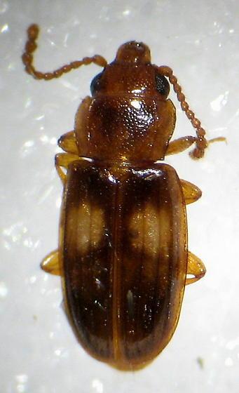 Lined Flat Bark - Laemophloeus fasciatus