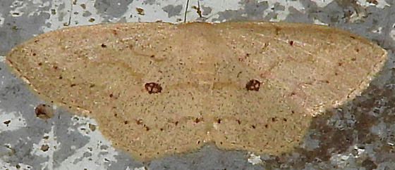 Semaeopus cantona? - Semaeopus cantona