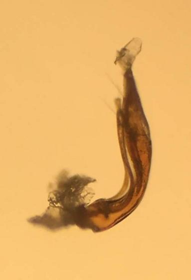 Hydraena pensylvanica - male