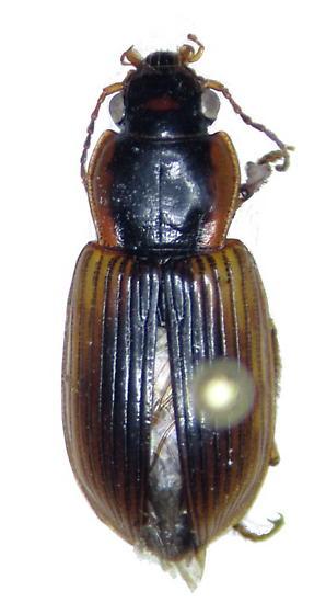 Anisodactylus discoideus